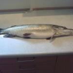 Gedden vejede 3,5 kg, og målte 75 cm. Blev fanget d.30/6-2010 i Ørnsø